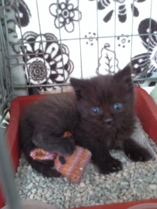A foster kitten at the DSPCA
