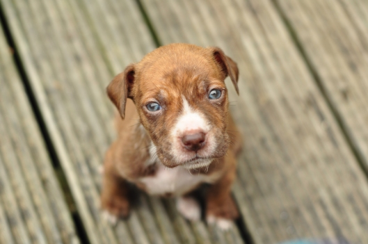Four week old pit bull puppy