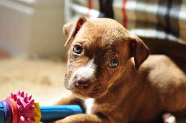 Pit bull X puppy