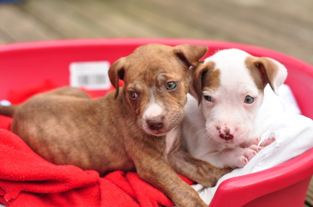 6 week old pit bull puppies